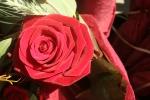 rosa.image